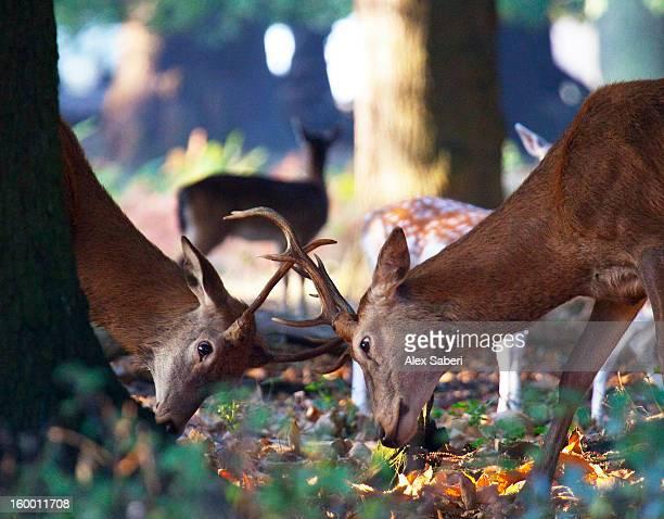 red deer, cervus elaphus, during the rutting season. - alex saberi stock pictures, royalty-free photos & images