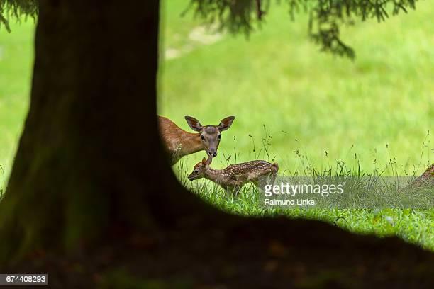 Red Deer, Cervus elaphus, Female with Young