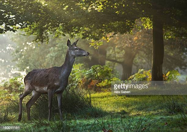 a red deer, cervus elaphus, in a forested area in richmond park. - alex saberi stock pictures, royalty-free photos & images