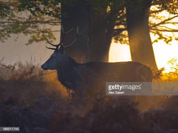 a red deer, cervus elaphus, in a misty golden glow. - alex saberi stock-fotos und bilder