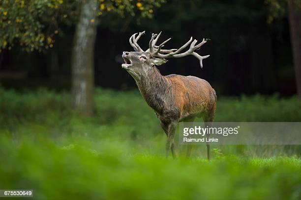 red deer, cervus elaphus, male, in rutting season - アカシカ ストックフォトと画像
