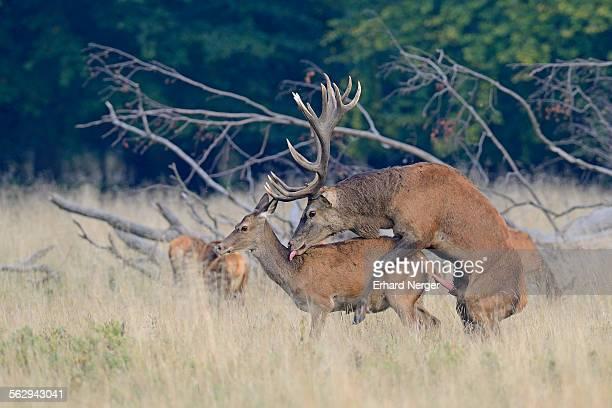 rocky deer jess sex canada