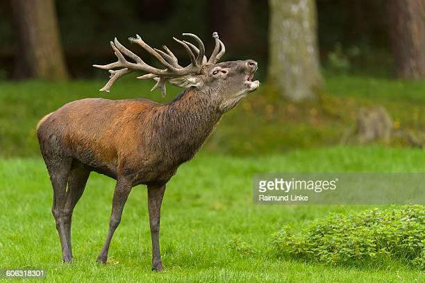 red deer, cervus elaphus - アカシカ ストックフォトと画像
