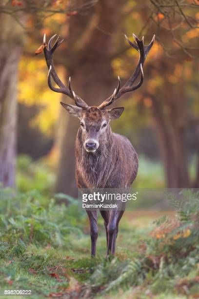Red deer (Cervus elaphus