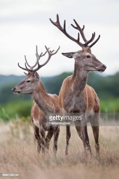 Red deer (Cervus elaphus