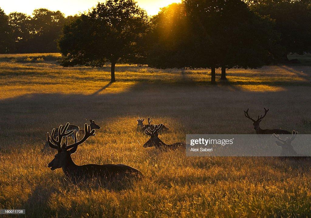 Red deer, Cervus elaphus, resting on a summer evening. : ストックフォト