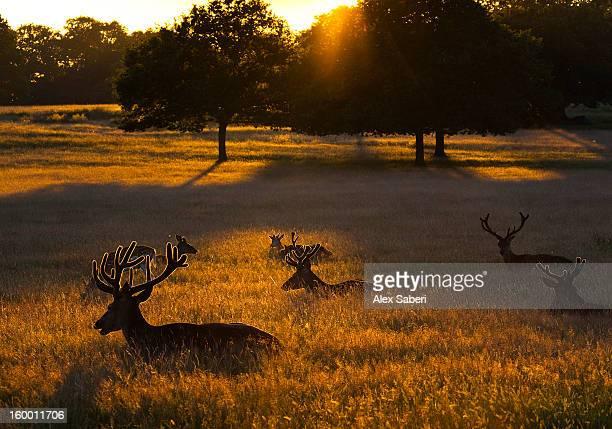 red deer, cervus elaphus, resting on a summer evening. - alex saberi stock pictures, royalty-free photos & images