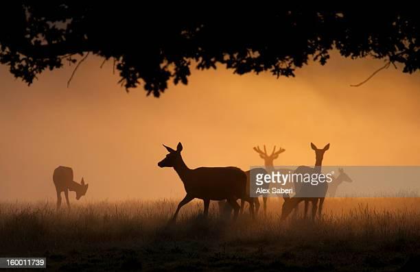 red deer, cervus elaphus, silhouetted in the autumn morning mist. - alex saberi 個照片及圖片檔