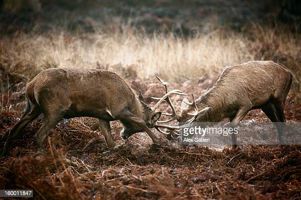 red deer, cervus elaphus, sparring in winter. - alex saberi 個照片及圖片檔