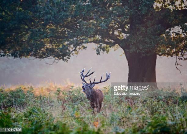 Red Deer, Cervus elaphus, Stag bellowing during rut, Richmond Park, London.