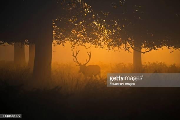 Red Deer, Cervus elaphus, stag during rut on a misty dawn, Richmond Park National Nature Reserve, London.