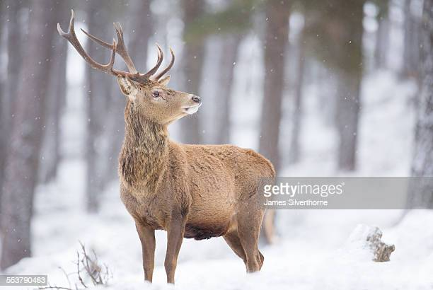 Red deer Cervus elaphus, Stag in snowfall, Highlands,Scotland