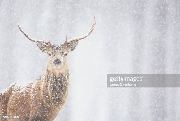 red deer cervus elaphus, stag in winter, scotland - red deer animal stock pictures, royalty-free photos & images