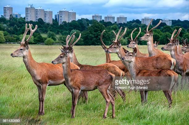 red deer crossing anticipation - リッチモンド公園 ストックフォトと画像