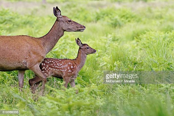 Red Deer Doe and Fawn