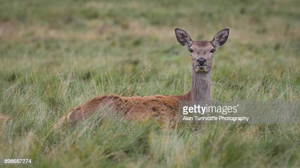 red deer fawn lying in grass - biche photos et images de collection