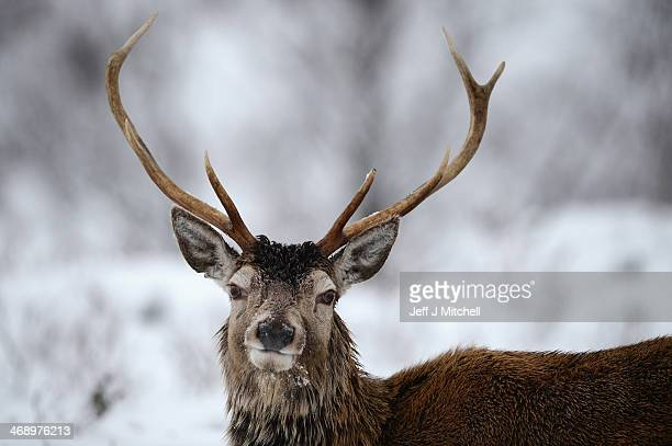 Red deer forage for food through the snow in Glen Coe on February 12 Glen Coe Scotland High winds with gust of over 100mph are causing disruption to...