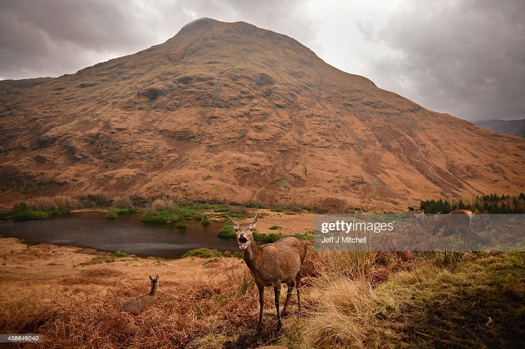 Red deer graze following the end of the rutting season on November 12, 2014 in Glen Etive, Scotland. The rutting season sees the large red deer stags compete against each other for mating rights and can be heard roaring and bellowing in an attempt to attract the hinds. The rut draws to a close in early November when the males will spend the winter feeding to regain strength for the following year's season.