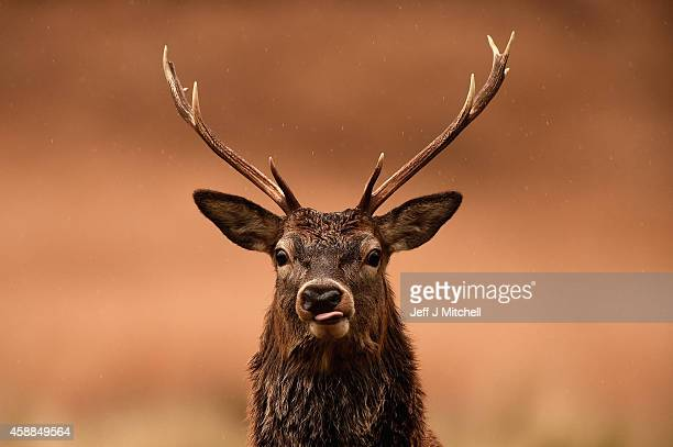 Red deer graze following the end of the rutting season on November 12, 2014 in Glen Etive, Scotland. The rutting season sees the large red deer stags...
