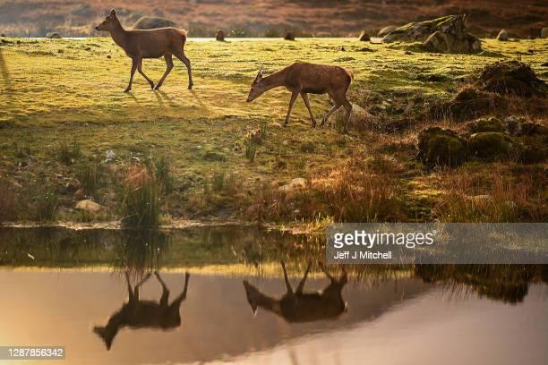 Red deer graze in the Highlands on November 26, 2020 in Glen Coe, Scotland. Britain's largest wild animal, The Red Deer, roam on open moorlands...