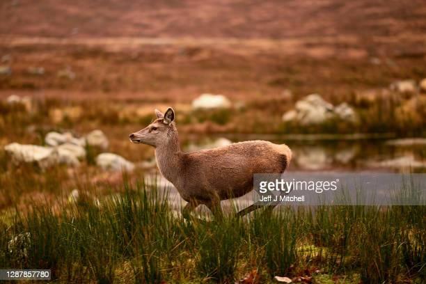Red deer graze in the Highlands on November 26 2020 in Glen Coe Scotland Britain's largest wild animal The Red Deer roam on open moorlands around the...