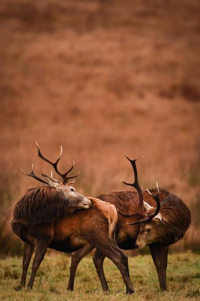 GBR: Red Deer At Glen Etive