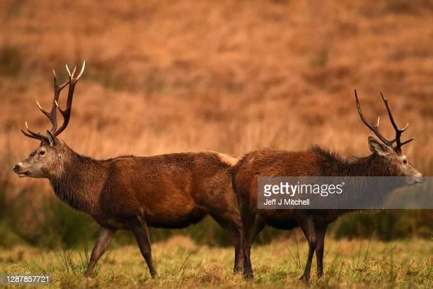 Red deer graze in the Highlands on November 26 2020 in Glen Etive Scotland Britain's largest wild animal The Red Deer roam on open moorlands around...