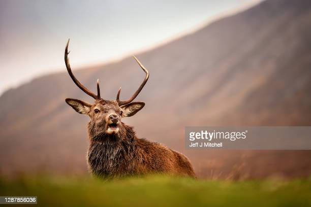 Red deer grazes in the Highlands on November 26, 2020 in Glen Coe, Scotland. Britain's largest wild animal, The Red Deer, roam on open moorlands...