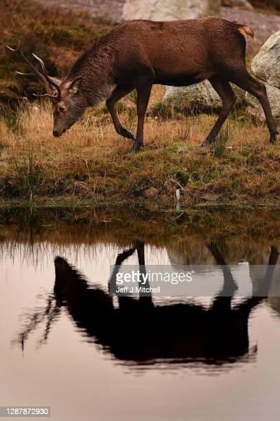 A red deer grazes in the Highlands on November 26 2020 in Glen Coe Scotland Britain's largest wild animal The Red Deer roam on open moorlands around...