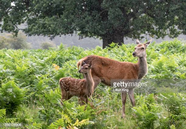 red deer hind and her fawn - female animal stock pictures, royalty-free photos & images