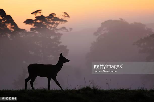 red deer hind at sunrise in british contryside,somerset,uk - femmina di daino foto e immagini stock