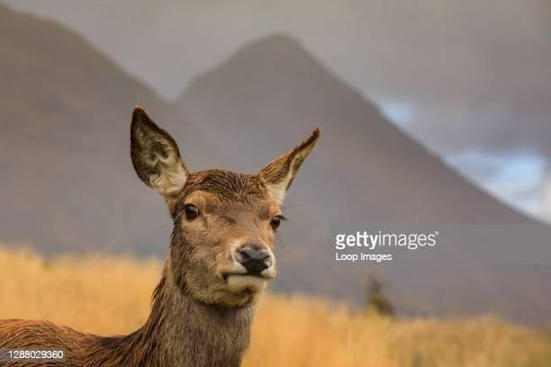 Red deer hind in Glen Etive.
