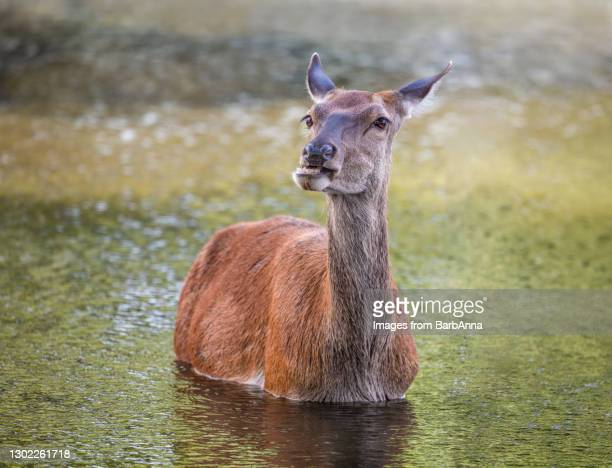 red deer hind in water - herbivorous stock pictures, royalty-free photos & images