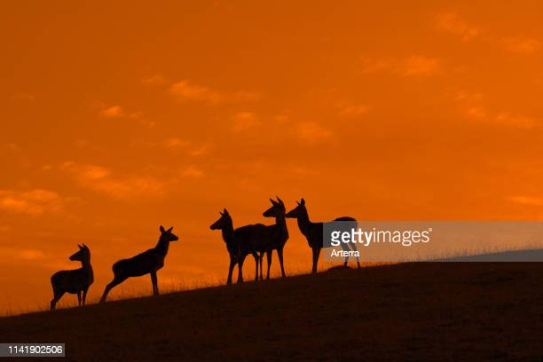 Red deer hinds / females with juveniles silhouetted against orange sunset sky