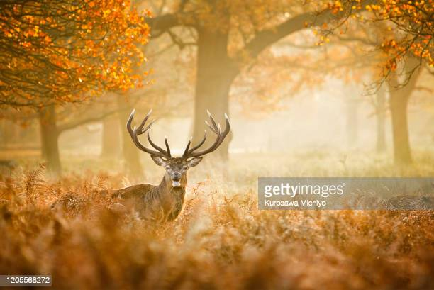 red deer in between teh field - non urban scene stock pictures, royalty-free photos & images