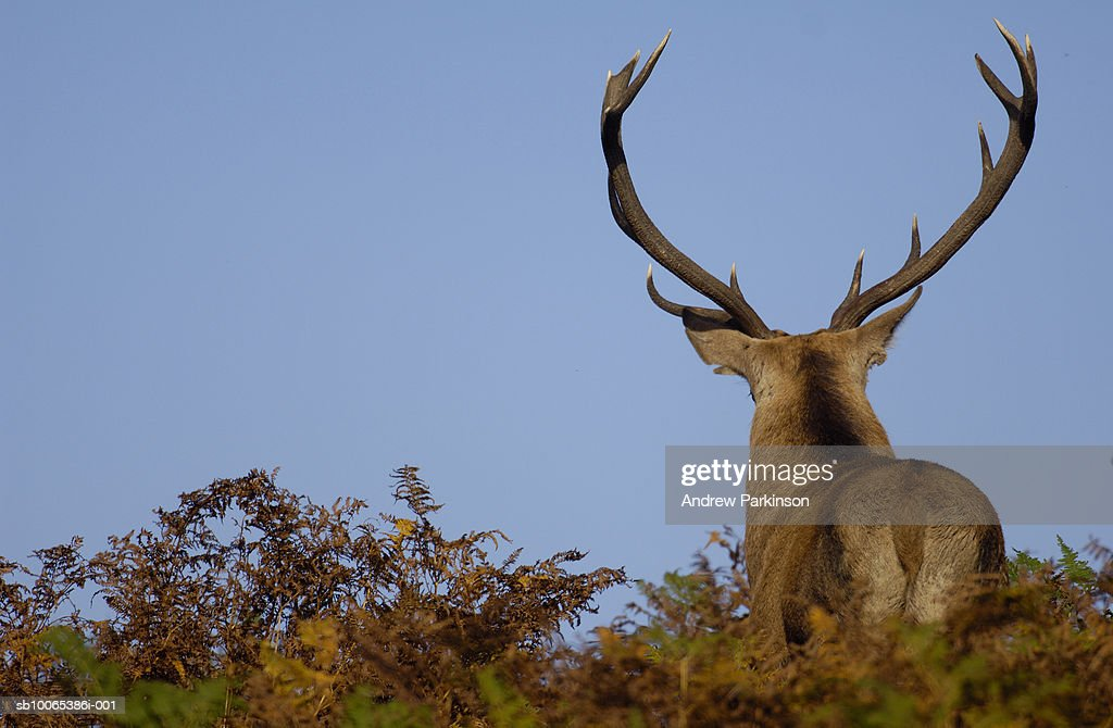 Red deer (Cervus elaphus) in bracken, rear view : Foto stock