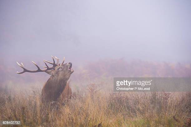 Red Deer in Fog