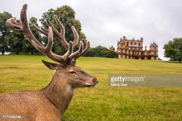 red deer in front of wallaton hall - ノッティンガムシャー ストックフォトと画像