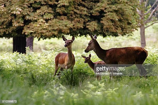 Red deer in Richmond Park, London