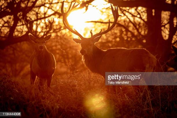 red deer in richmond park - リッチモンド公園 ストックフォトと画像
