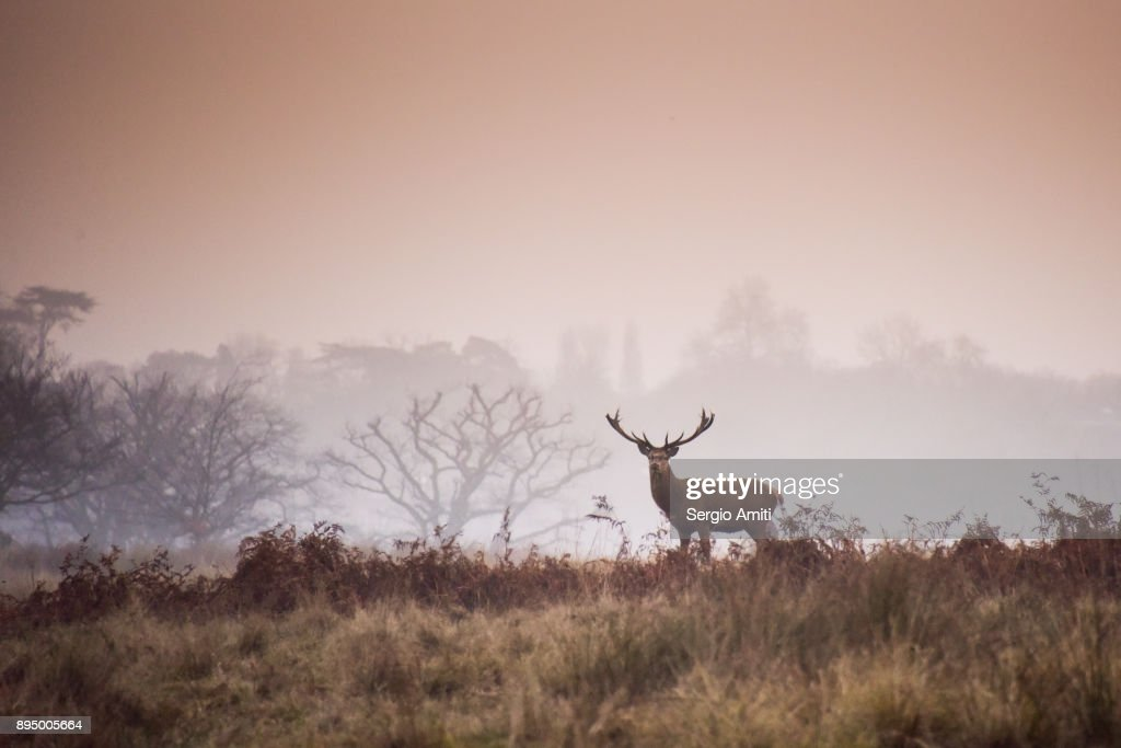Red deer in Richmond Park : Stock Photo
