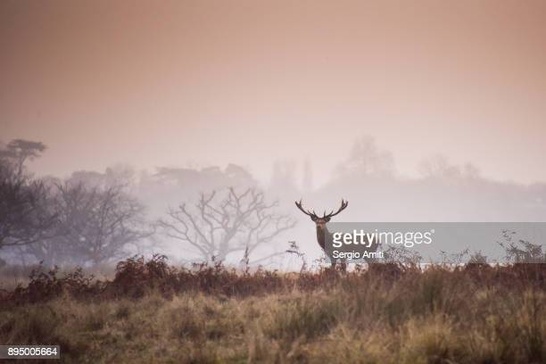 Red deer in Richmond Park