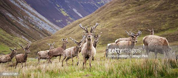 red deer in scottish highland landscape - nature reserve stock pictures, royalty-free photos & images