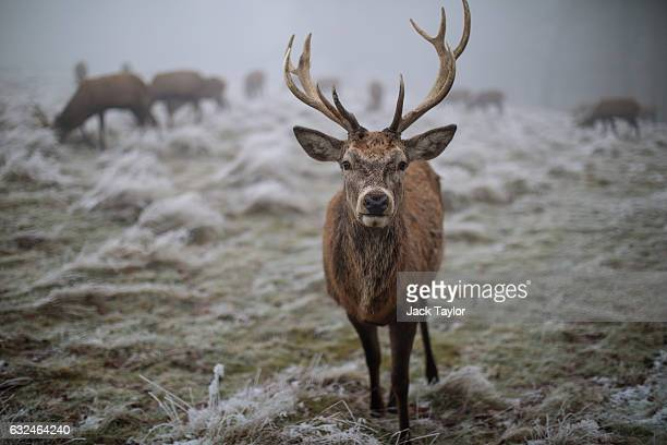 A red deer is pictured on frosty ground in Richmond Park on January 23 2017 in London United Kingdom Thick fog and temperatures below freezing have...