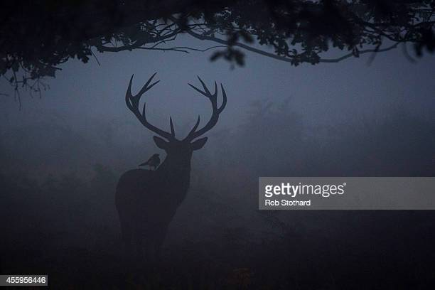 A red deer is seen through the morning mist in Richmond Park on September 23 2014 in London England Tuesday marks the autumn equinox where day and...