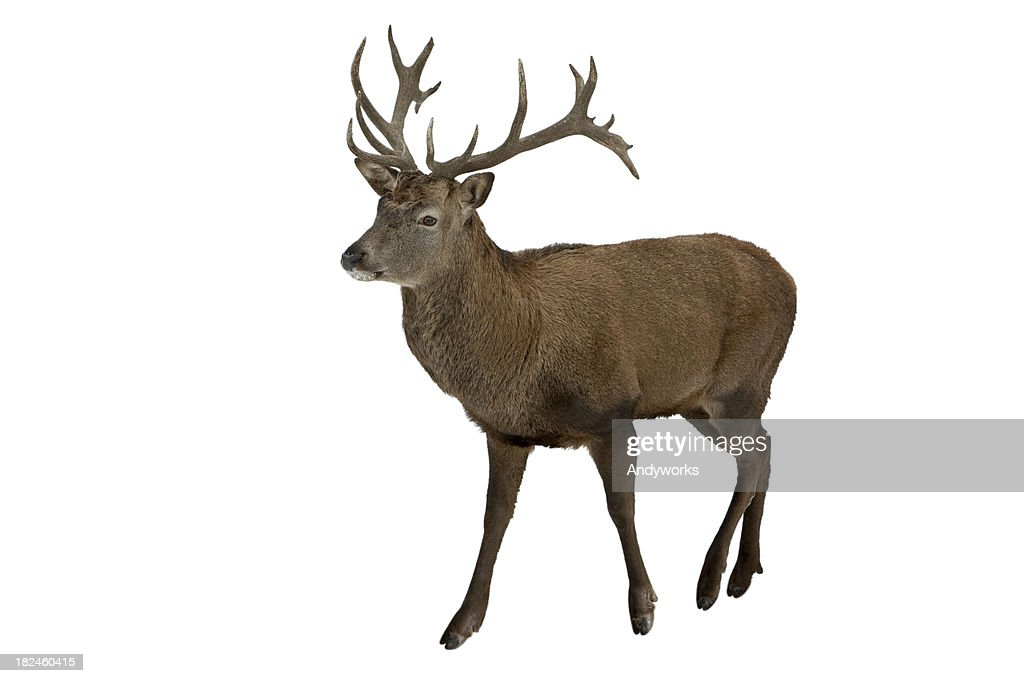 Red Deer Isolated On White : Stock Photo