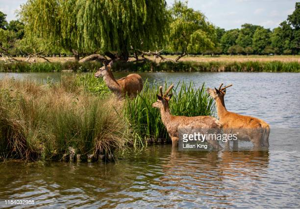red deer juveniles - hampton court stock pictures, royalty-free photos & images