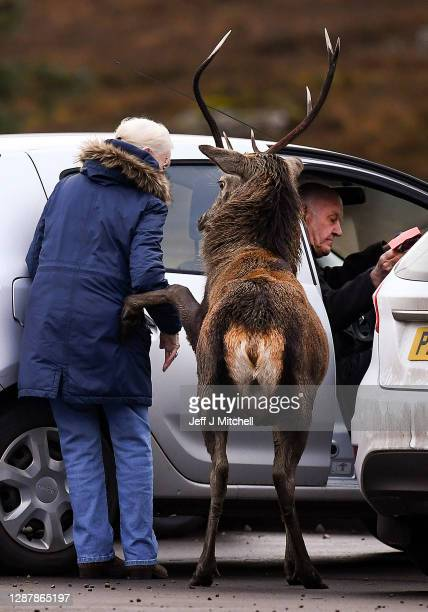 Red deer lifts its hoof towards a member of the public as they enter their car in the Highlands on November 26, 2020 in Glen Coe, Scotland. Britain's...