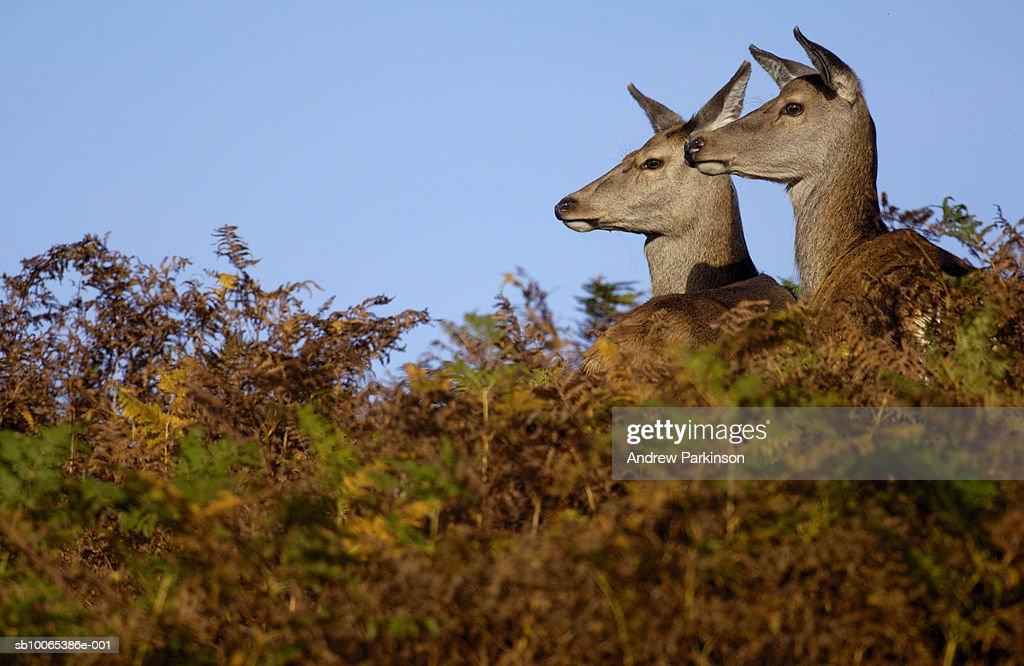 Red deer (Cervus elaphus) looking over bracken : Foto stock