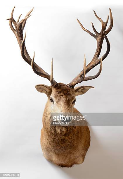 Red Deer, Nouvelle-Zélande, Taxidermie Mount